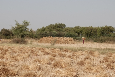 Gathering Wheat for Threshing