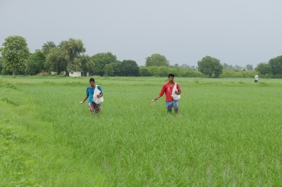 Broadcasting Urea in Rice Fields