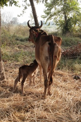 The Calf that could not find its mother's teats