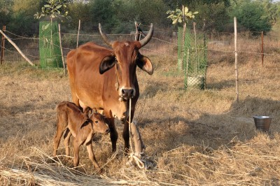 Tikku with her calf Saru