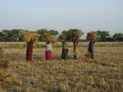 Women with Wheat Harvest